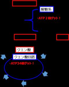解糖系とクエン酸回路2