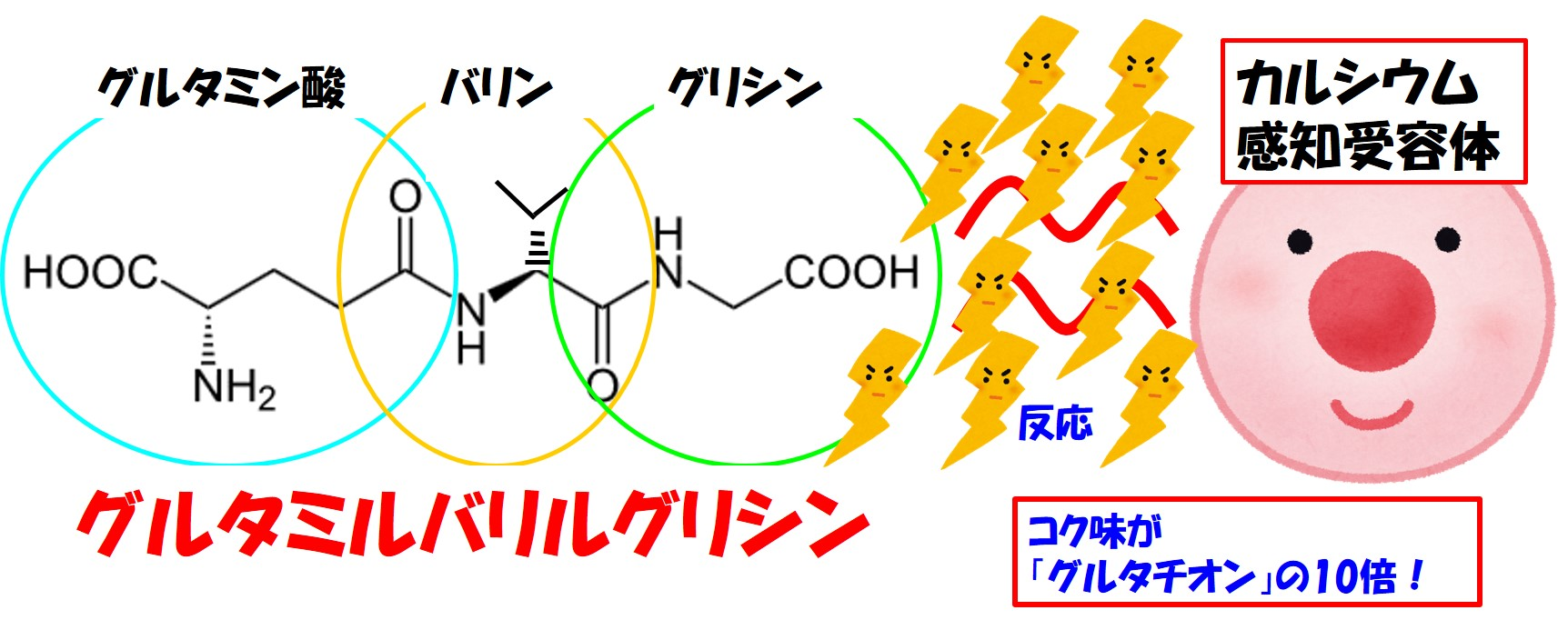 グルタミルバリルグリシンとカルシウム感知受容体